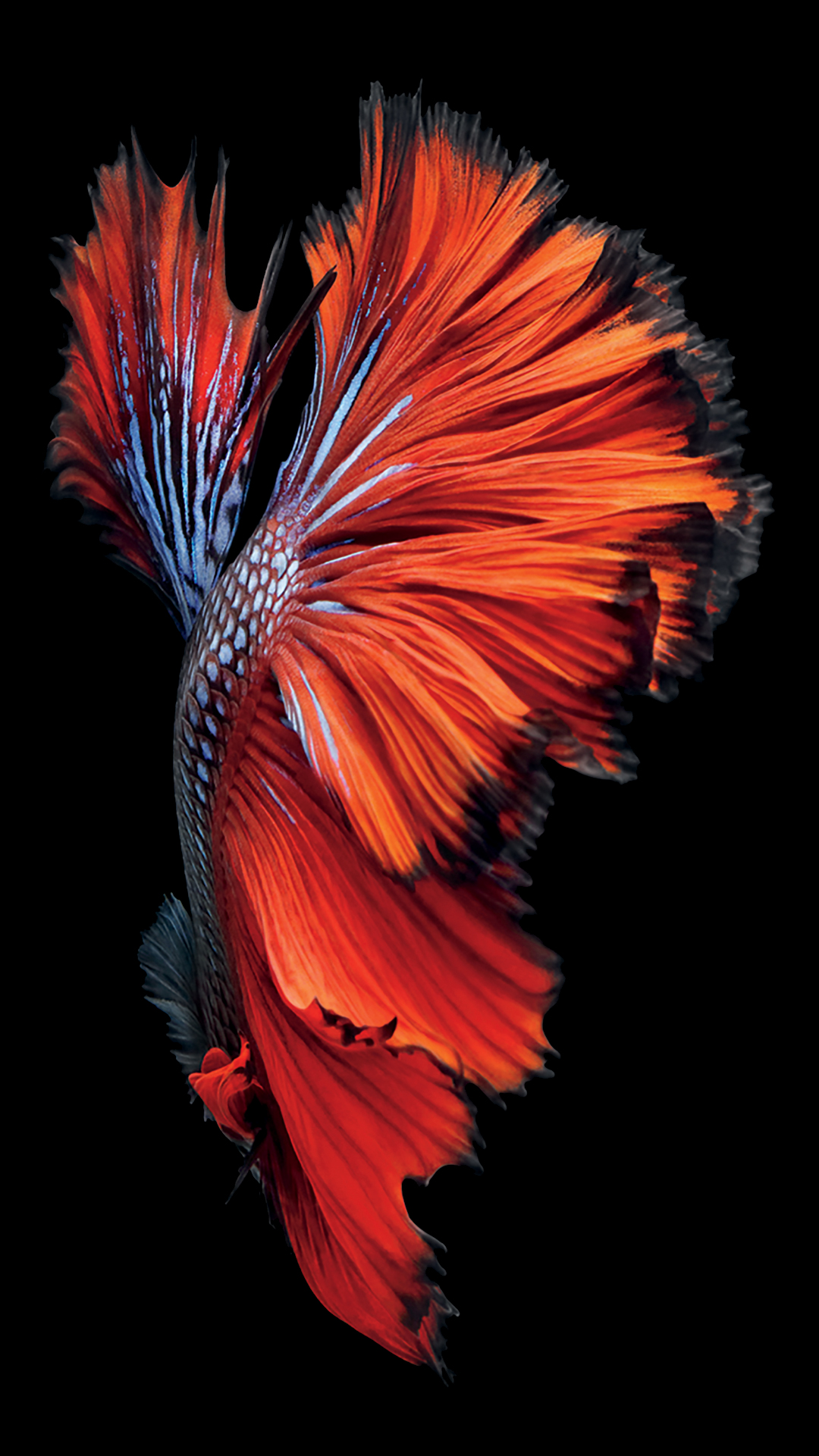 http://media.idownloadblog.com/wp-content/uploads/2015/09/iPhone-6s-Fish-Red-Wallpaper.jpg